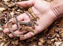 Lögnen för torkade champinjoner på rätt gömma i handflatan Arkivfoton