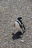 Löjlig och stolt pingvin på stenjorden. Fotografering för Bildbyråer