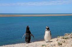 Löjligt koppla ihop av pingvin som Magellanic på Atlanten seglar utmed kusten. Arkivfoto