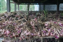 Lökar efter skörd i en ladugård för att torka, innan att sälja Fotografering för Bildbyråer