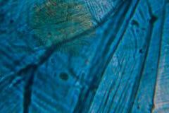 Lökceller på mikroskopet Arkivfoto