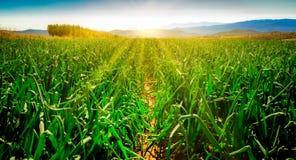 Lökfält på soluppgång arkivfoton