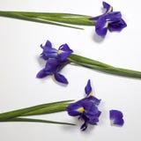 Lökformig iris för Violet Irises xiphium, irissibirica på vit bakgrund med utrymme för text Arkivbilder