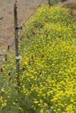 Lökformiga smörblommavildblommor och karmosinröd växt av släktet Trifolium arkivfoto