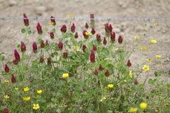 Lökformiga smörblommavildblommor och karmosinröd växt av släktet Trifolium royaltyfri bild