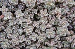 Lökformiga växter Arkivbild