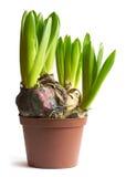 lökformiga växter Royaltyfri Fotografi