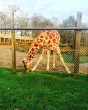 Lömsk giraff royaltyfri bild