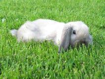 lömsk kanin Arkivbild
