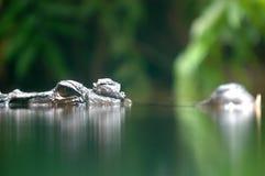lömsk krokodil royaltyfri bild