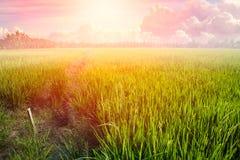 Löneförhöjning för sol för risfältlandskapmorgon eller dagsommarljus Royaltyfri Fotografi