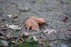 Lönn- och ekblad med ekollonar arkivfoton