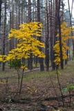 Lönnar i skogen Royaltyfri Foto
