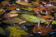 Lönnblad i vatten som svävar höstlönnblad Royaltyfri Fotografi