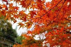 Lönnblad underifrån i trädgården Royaltyfria Foton