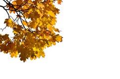 Lönnfilial med isolerade gulingsidor Hösten färgar royaltyfria bilder
