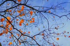 Lönnfilial med sidor i höst i blå himmel Romantiskt lynne, begrepp av nostalgi Ljus bakgrund för naturlig höst arkivfoto