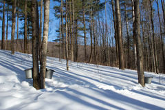Lönnhinkar i skog Arkivfoto