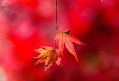 Lönnlöv för röd färg Royaltyfri Fotografi