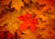 Lönnlöv gulnar, orange och rött royaltyfri bild