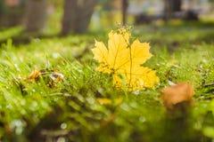 Lönnlöv i solen Royaltyfria Bilder