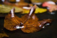 Lönnlöv i vatten som svävar höstlönnlövet Fotografering för Bildbyråer
