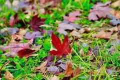 Lönnlöv och gräs royaltyfri bild