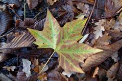 Lönnlöv på Forest Floor Fotografering för Bildbyråer