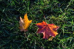 Lönnlöv på gräs och solljus Arkivfoto