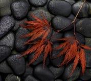 Lönnlöv på svarta stenar Fotografering för Bildbyråer