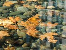 Lönnlöv som svävar genomskinlig vattenbakgrund Arkivfoton