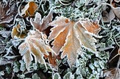 Lönnlöv som täckas med iskristallen arkivfoton