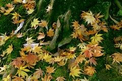 Lönnlöv var stupade att grunda när hösten kommer Royaltyfri Fotografi