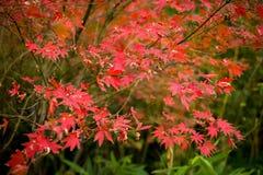 Lönnlöven av hösten Arkivfoto