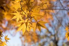 Lönnlöven av hösten arkivbild