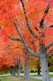 Lönnträd Royaltyfri Foto