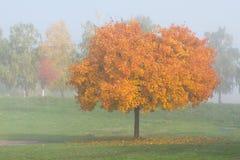 Lönnträd i höst Fotografering för Bildbyråer