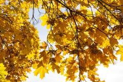 Lönnträd i nedgången Royaltyfri Bild