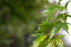 Lönnträd i regnet arkivfoto