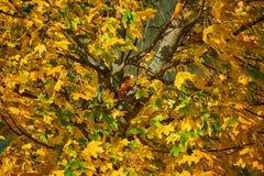 lönnträd med guld- blad arkivbilder