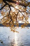 Lönnträd med gulingsidor över sjön med solljus arkivbild