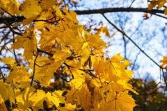 Lönnträd med härliga gula blad, härlig solig dag i parkera Royaltyfria Foton
