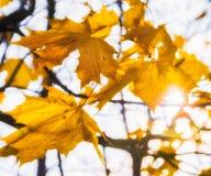 Lönnträd med härliga gula blad, härlig solig dag i parkera Arkivbilder