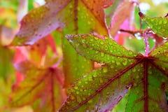 Lönnträd med regndroppar Arkivbilder