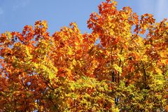 Lönnträd med sidor av röda och gula färger på en solig dag Arkivbild