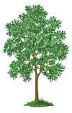 Lönnträd och grönt gräs Arkivfoton