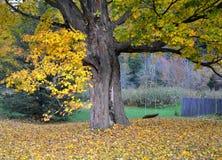 Lönnträd och gunga Royaltyfria Bilder