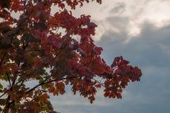 Lönnträd och himmel Arkivbild