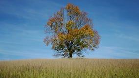Lönnträd som visar färgerna av hösten lager videofilmer