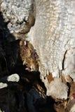 Lönnträdet rotar upp kusligt texturslut med den röda firebugsPyrrhocoris apterusen som döljer i skället, vertikal bakgrund royaltyfria foton